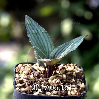 ドリミオプシス sp. nov. 子株 5669