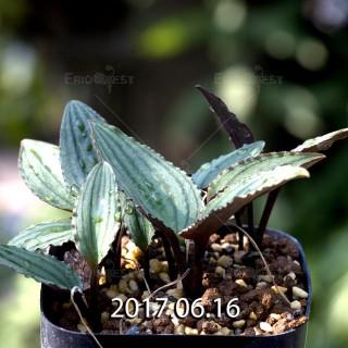 ドリミオプシス sp. nov. 子株 5676