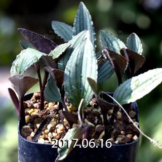 ドリミオプシス sp. nov. 子株 5681