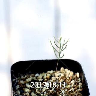エリオスペルマム アフィルム 実生 6719