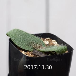 マッソニア ピグマエア 子株 6809