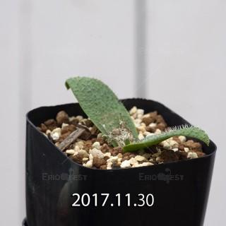 マッソニア ピグマエア 子株 6812
