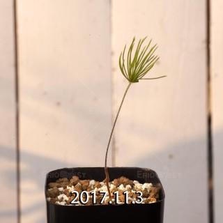 エリオスペルマム プロリフェルム 子株 7304