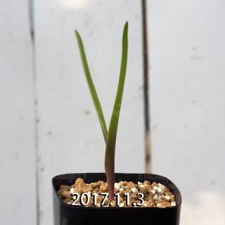 ラケナリア アロイデス クアドリカラー変種 子株 7313