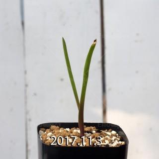 ラケナリア アロイデス クアドリカラー変種 子株 7318