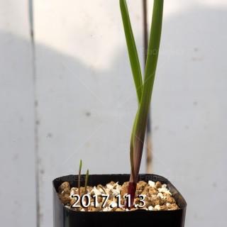 ラケナリア アロイデス クアドリカラー変種 子株 7328