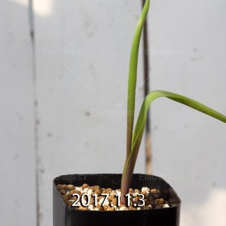 ラケナリア アロイデス クアドリカラー変種 子株 7331