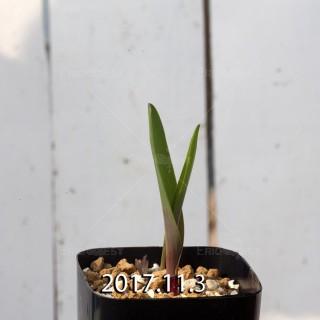 ラケナリア アロイデス クアドリカラー変種 子株 7339