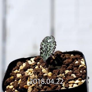 ドリミオプシス ブルケイ 子株 8675