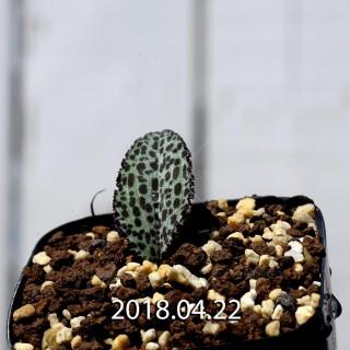 ドリミオプシス ブルケイ 子株 8680