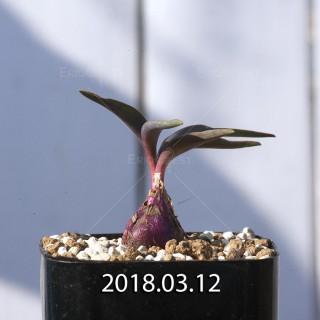 レデボウリア コリアセア DMC9654 子株 8717