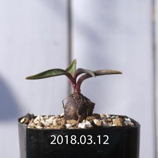 レデボウリア コリアセア DMC9654 子株 8718