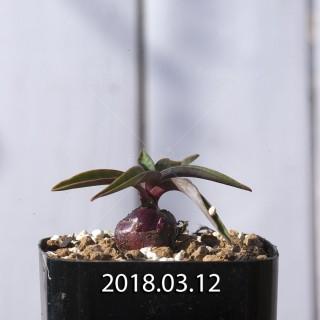 レデボウリア コリアセア DMC9654 子株 8721