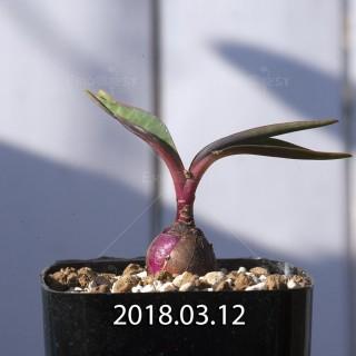 レデボウリア コリアセア DMC9654 子株 8730