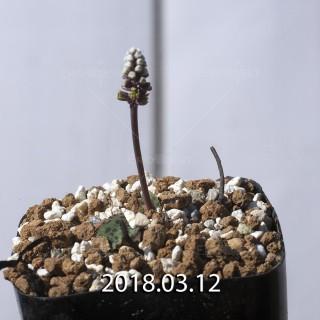 ドリミオプシス sp. EQ496 子株 8839