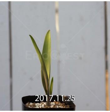 Lachenalia aloides quadricolor Offset 7311