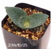 Massonia Pygmaea seedling 11
