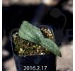 Massonia Pygmaea seedling 12