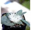Massonia Pygmaea seedling 25
