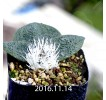 Massonia Pygmaea seedling SE Leliefontein 410