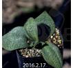 Massonia Pygmaea seedling SE Leliefontein 416