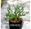 Albuca Concordiana Large form seedling 419