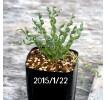 Albuca Concordiana seedling 426