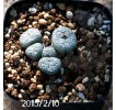 Conophytum minimum Offset 426