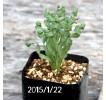 Albuca Concordiana seedling 428