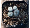 Conophytum minimum Offset 455