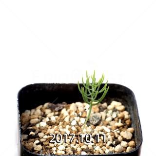 Eriospermum aphyllum seedling