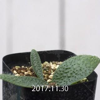 Massonia pygmaea Seedling