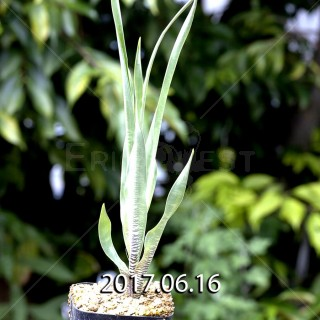 Ledebouria marginata seedling