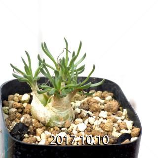 Ornithogalum lithopsoides Offset 6312
