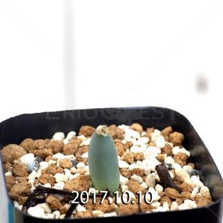 Albuca unifoliata Seedling 6548
