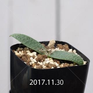 Massonia pygmaea Offset 6810