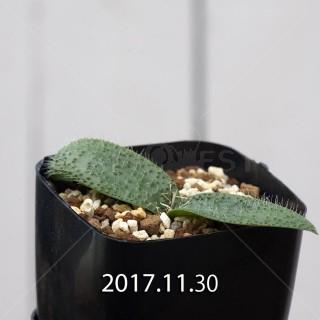 Massonia pygmaea Offset 6814