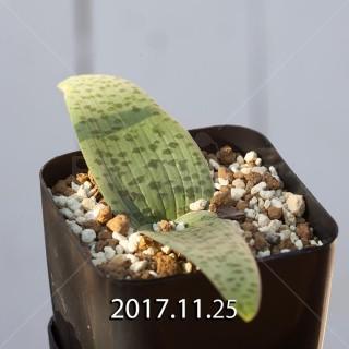 Lachenalia kliprandensis Seedling 7857