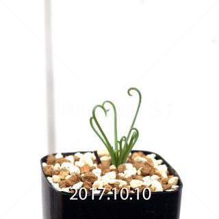 Albuca spiralis seedling