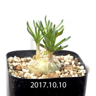 Ornithogalum lithopsoides Seedling