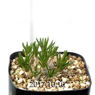 Ornithogalum sp. KangoRiver Seedling