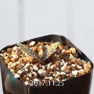 Lachenalia pustulata seedling