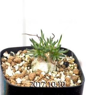 Ornithogalum lithopsoides Offset 6307