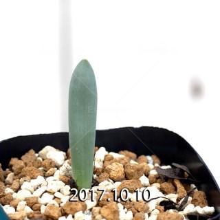 Albuca unifoliata Seedling 6550