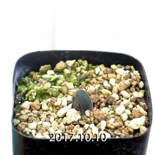 Ornithogalum sp. Seedling 6582
