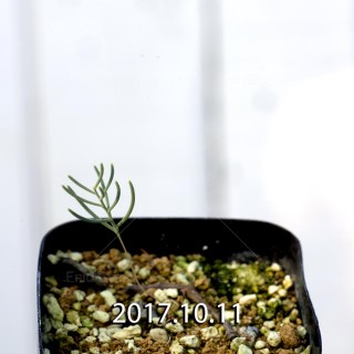 Eriospermum aphyllum Seedling 6721