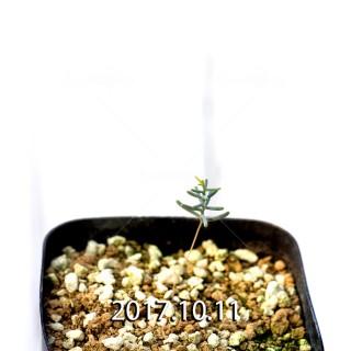 Eriospermum aphyllum Seedling 6722