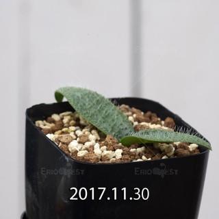 Massonia pygmaea Offset 6808