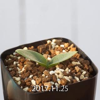Massonia tenella JAA1780 Seedling 7776