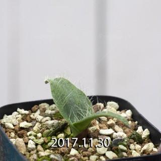 Lachenalia comptonii Seedling 7827